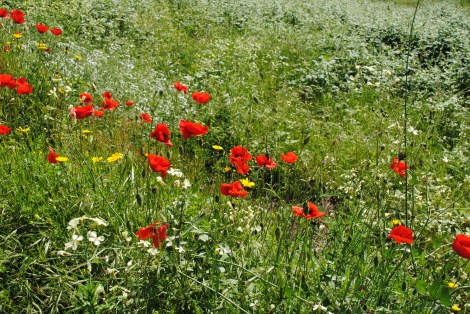 Wild poppies olive grove Tuscany Italy papaver rhoeas