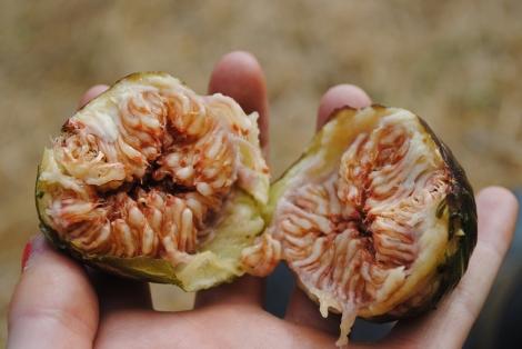 Freshly picked fig
